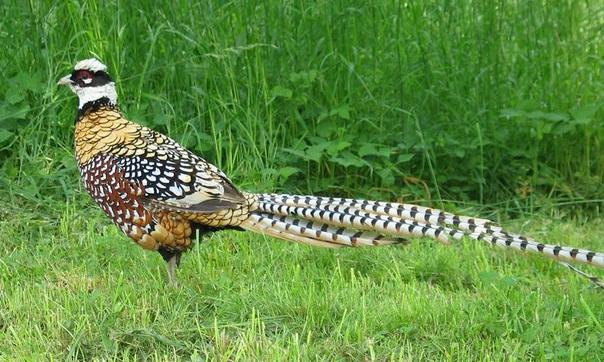 самцы фазана