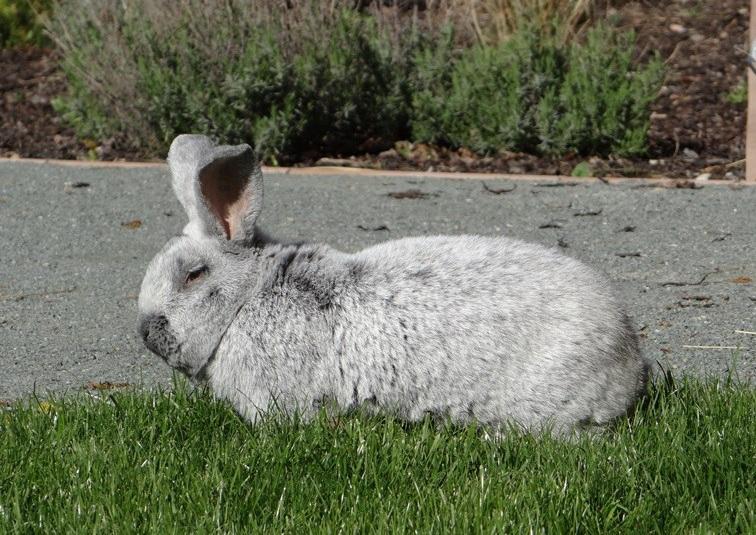 кролики породы Европейское серебро