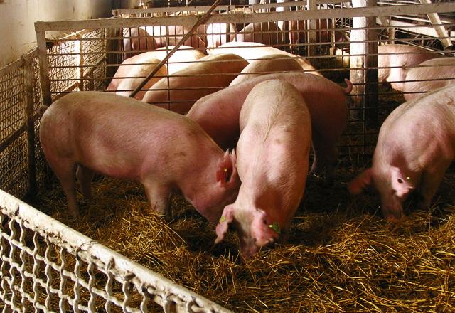 Постройка свинофермы