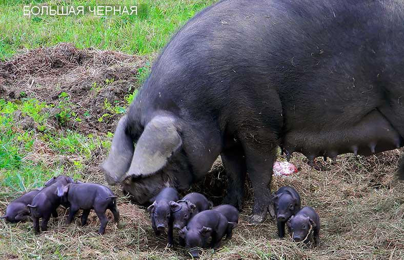 порода свиней большая чёрная