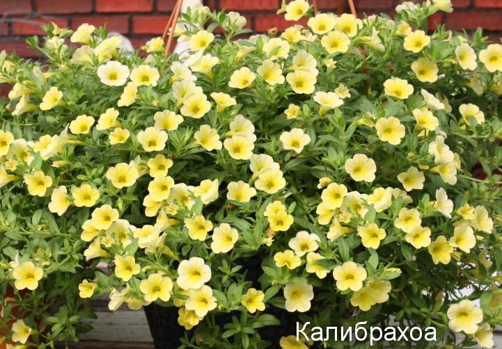 Калибрахоа жёлтая
