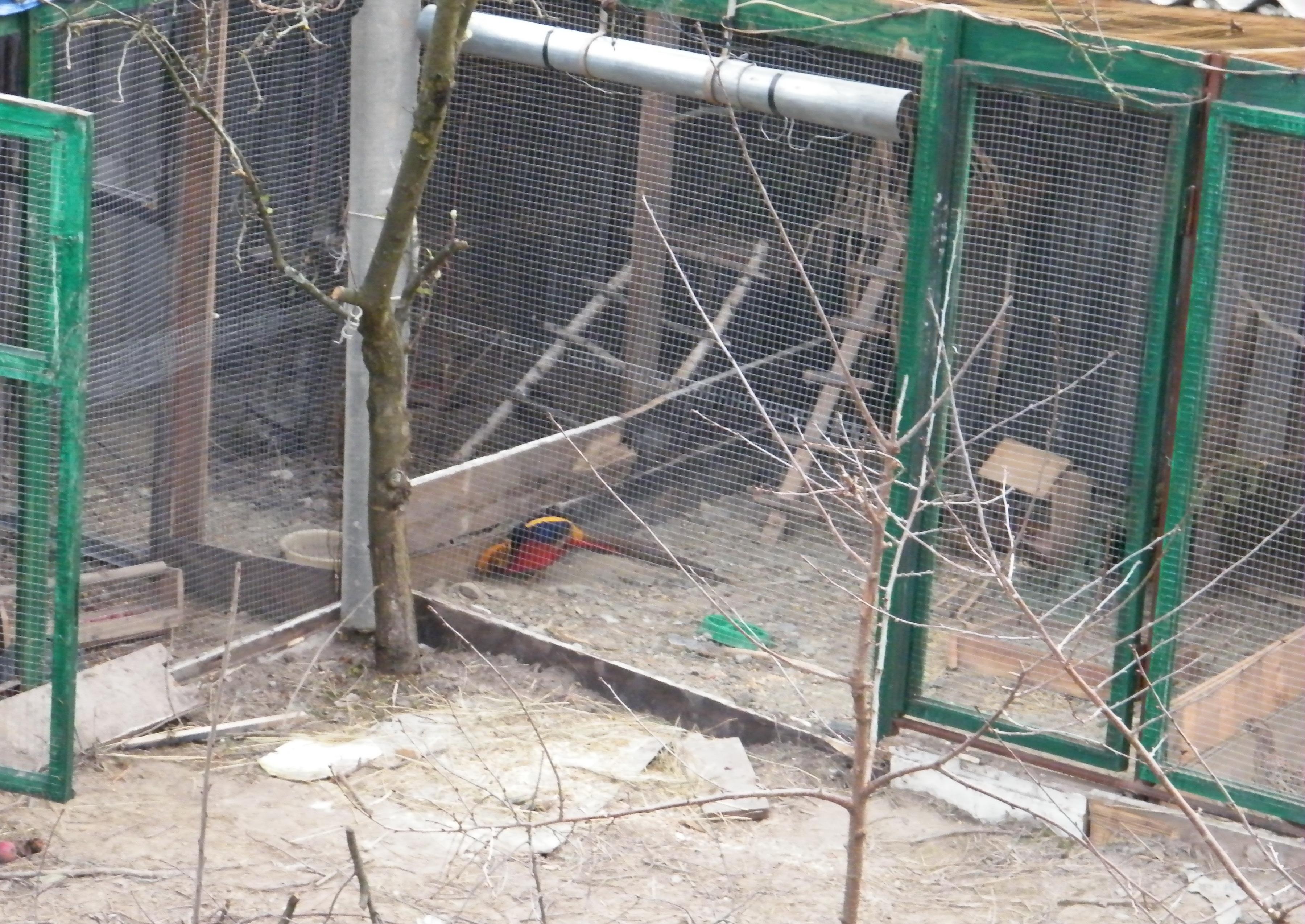 уход и содержание фазанов в домашнем хозяйстве