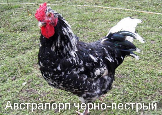 куры породы Австралорп черно-пестрый