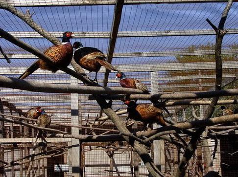 оборудование вольера для фазанов