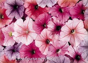 Селебрити петуния