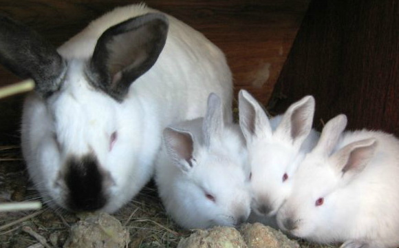 Кормление кроликов калифорнийской породы