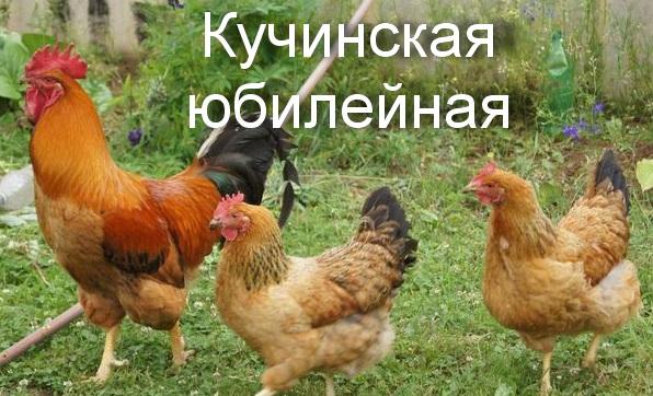 порода кур Кучинская юбилейная