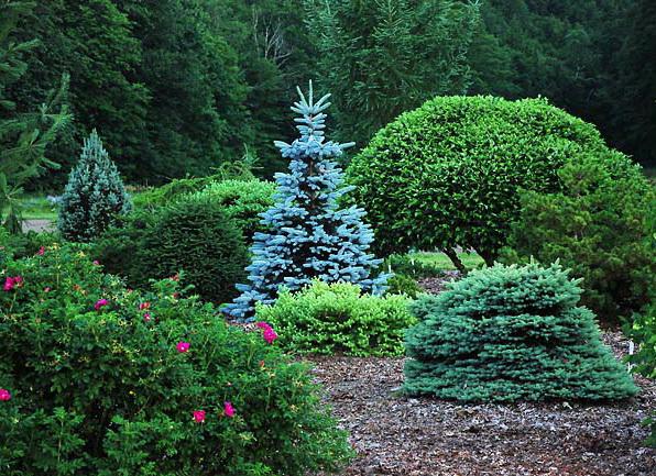 как вырастить голубую ель из семян в домашних условиях