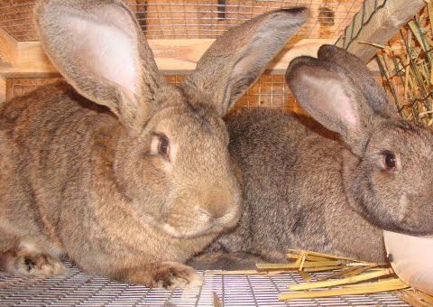 кролики великаны разведение выращивание