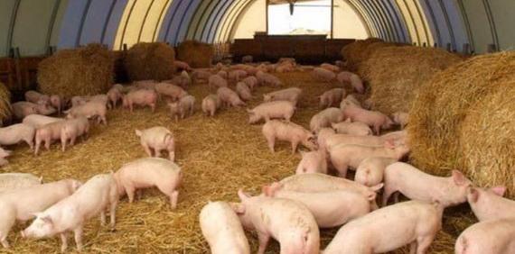 бизнес по выращиванию свиней на даче