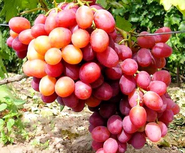 Общие правила посадки винограда