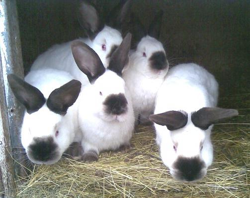 Выращивание калифорнийских кроликов