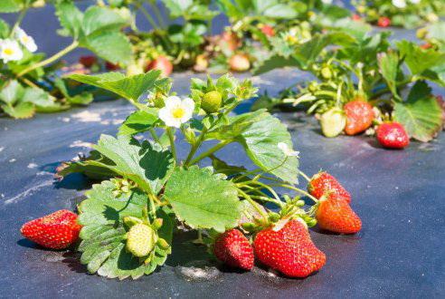 Советы по увеличению урожайности клубники