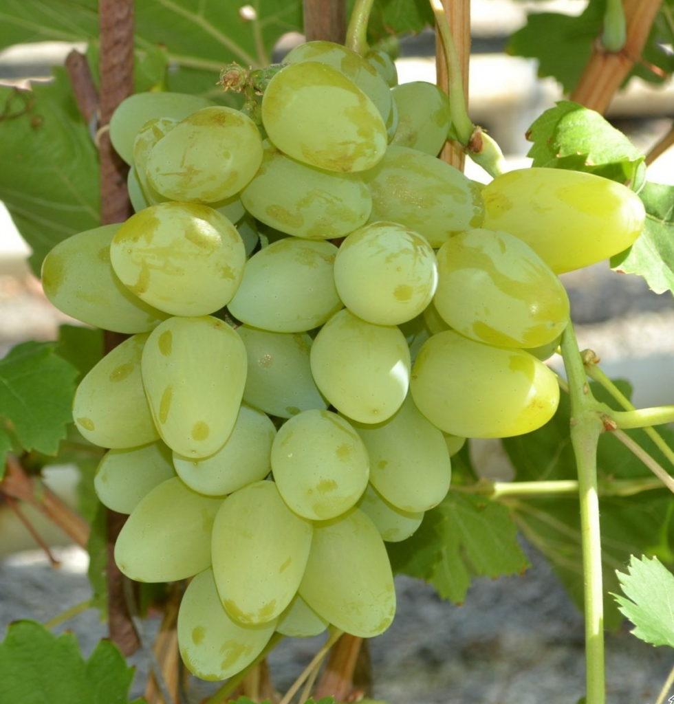 гроздь винограда Монарх