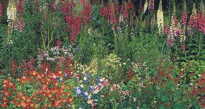 аквилегия выращивание из семян когда сажать