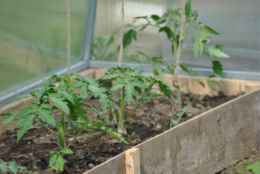 ранние сорта помидор для теплицы из поликарбоната