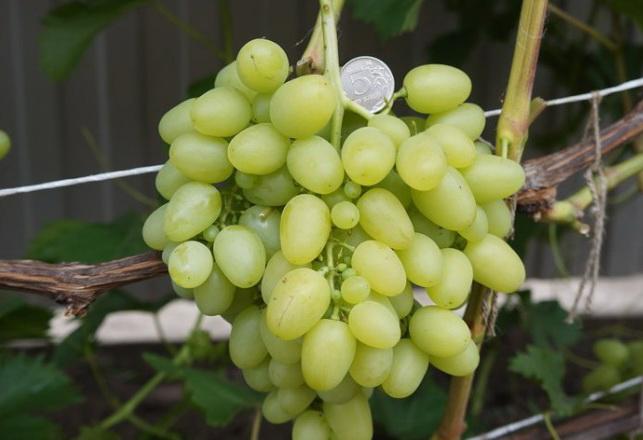 Посадка саженца винограда аркадия