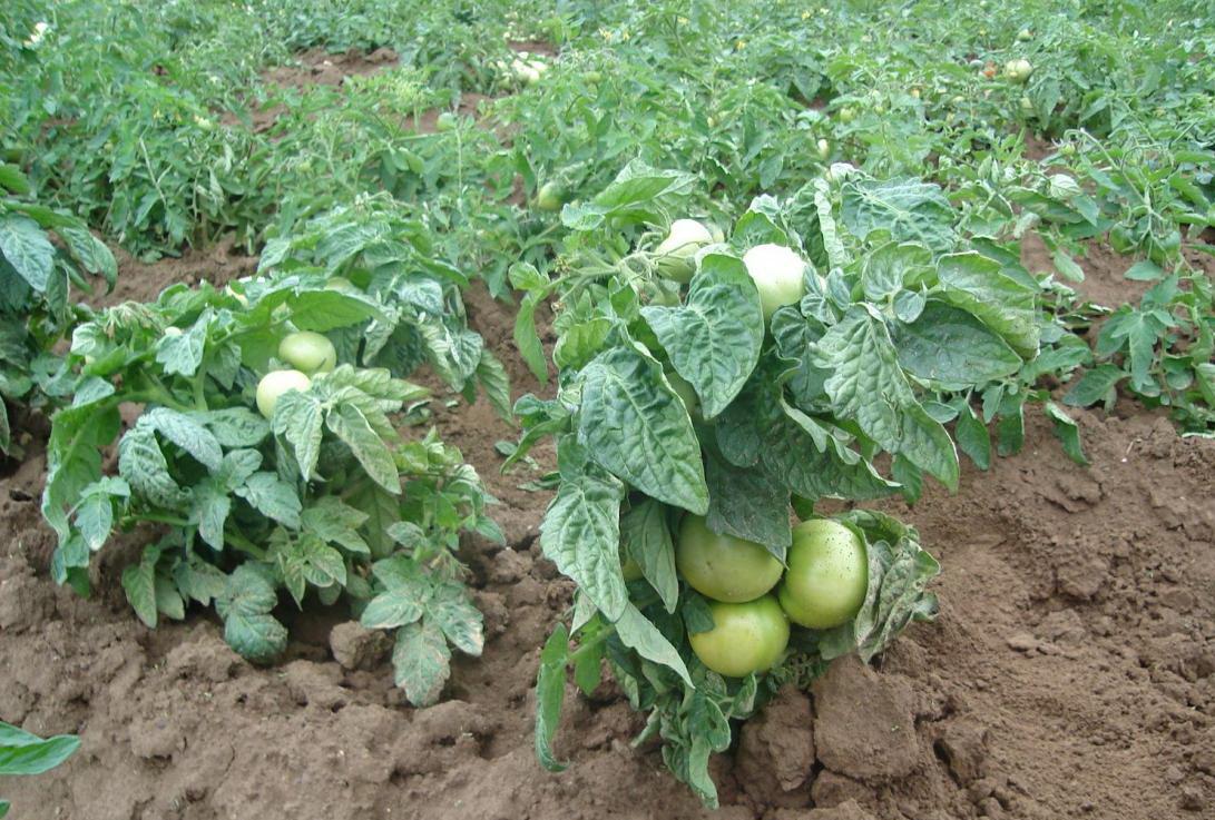 Выбор сорта низкорослых томатов