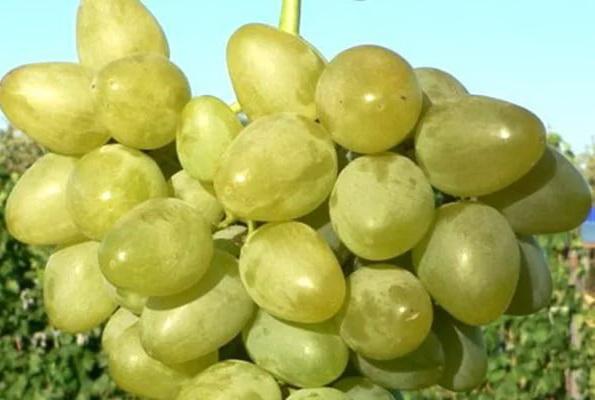 виноград монарх описание сорта