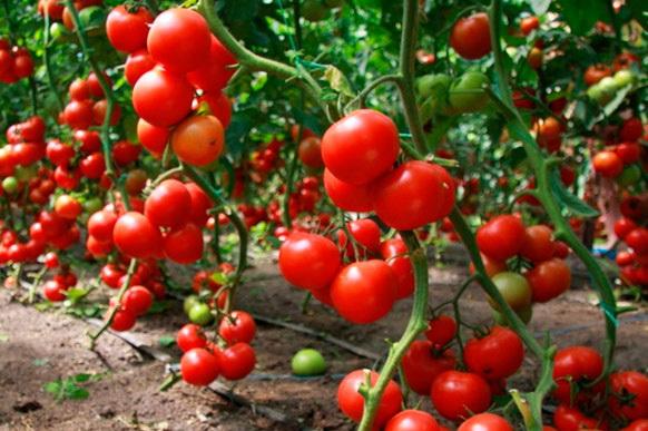 помидоры для теплицы