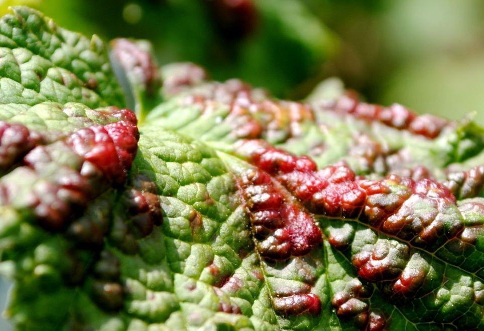 обработка смородины весной от болезней
