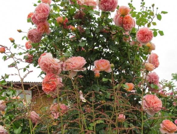 розы Абрахам Дарби