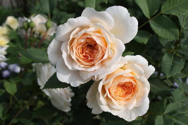 розы Крокус Роуз