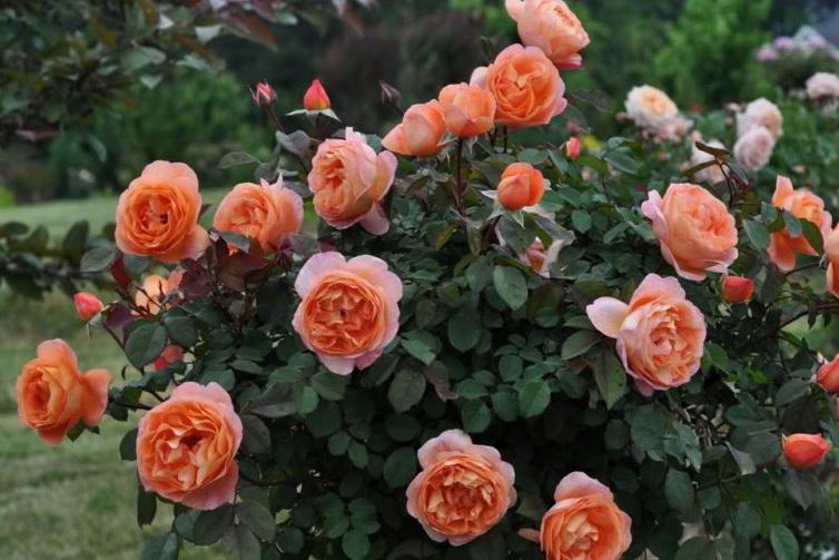 розы Леди оф Шарлот