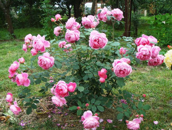 розы Алан Титчмарш