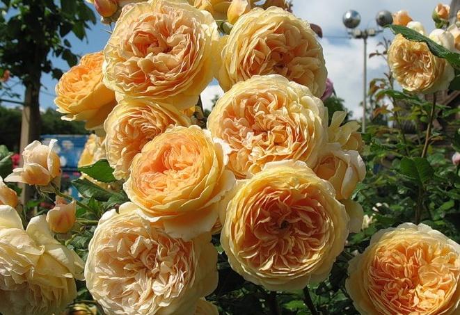 розы Краун Принцесс Маргарита