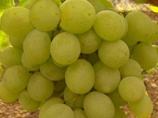 Виноград Кеша – описание сорта