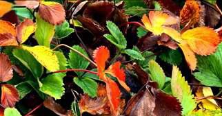 удобрение клубники осенью