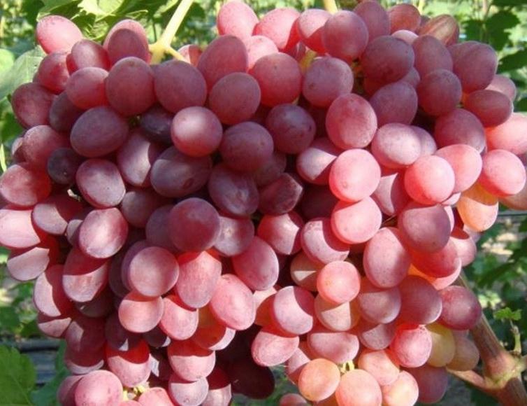виноград велес описание сорта фото отзывы