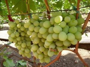 Виноград Кеша – описание сорта, фото, отзывы
