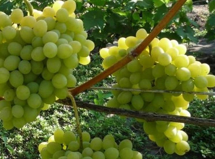 Виноград Августин описание сорта отзывы