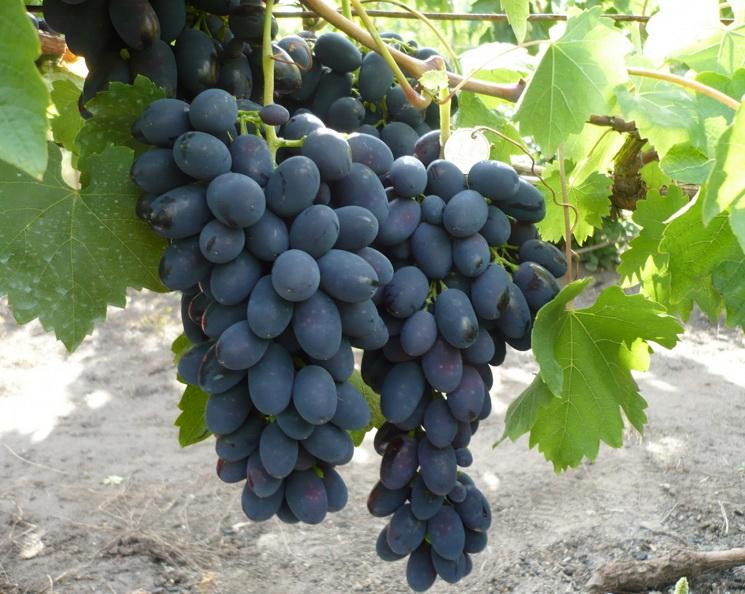 кодрянка виноград