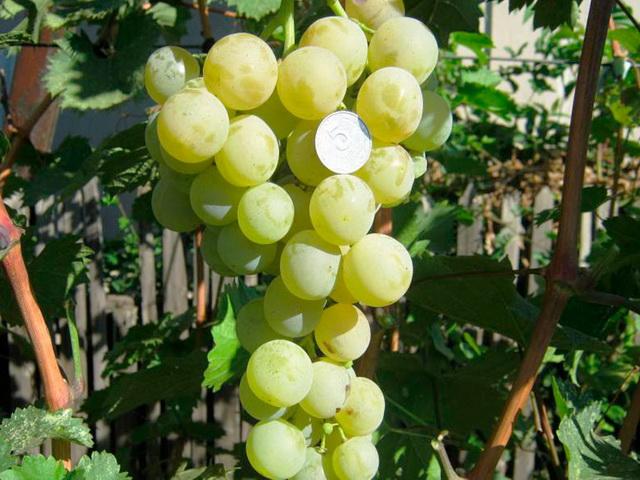 подкормка винограда кеша
