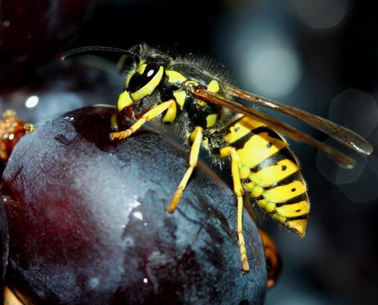 осы на винограде