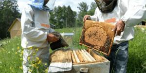 чем пользуются пчеловоды для усмирения пчёл во время осмотра их гнёзд