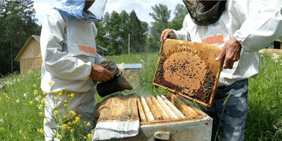 чем пользуется пчеловод для усмирения пчёл во время осмотра их гнёзд
